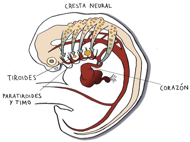 Migración de las células de la cresta neural en un embrión de 4-6 semanas